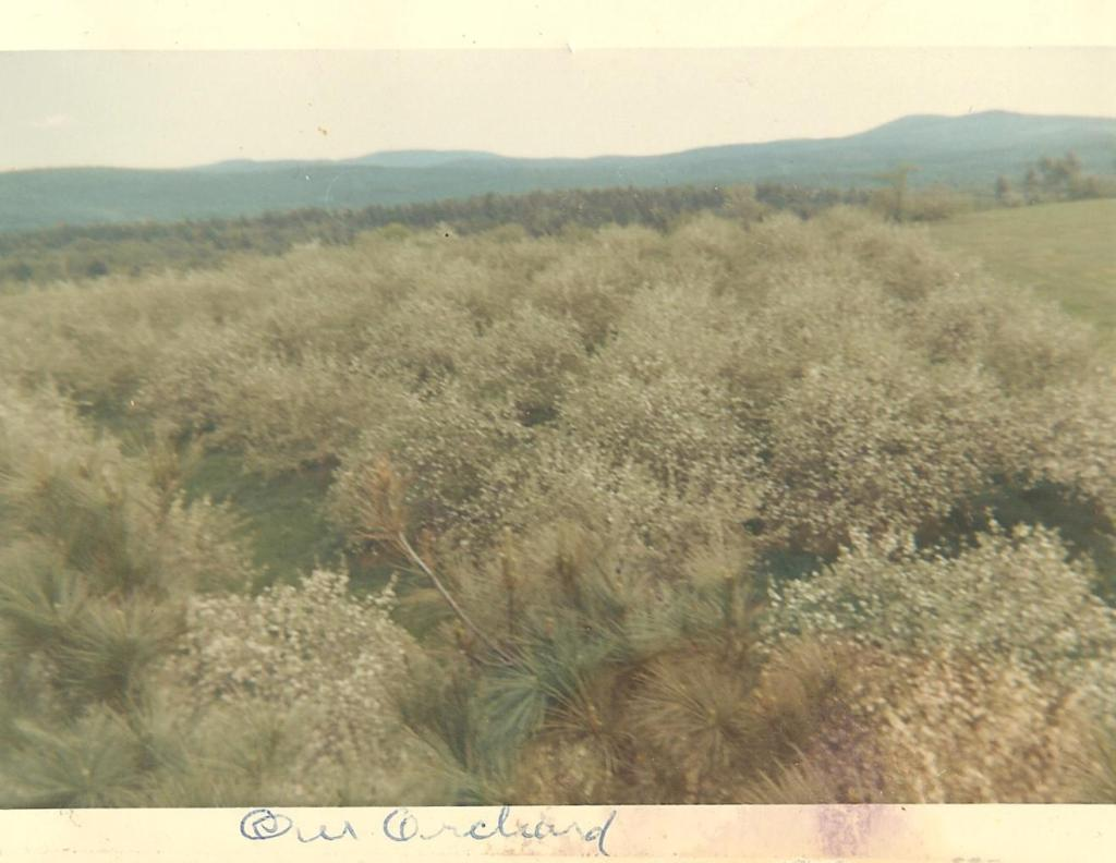 The Bowden orchard, May 1967. After taking the previous photograph of the farm buildings from atop a tall pine, Barry turned 180° and captured this image of the trees in his father's apple orchard in full bloom. In the distance (though not discernable) is Brewer Lake.